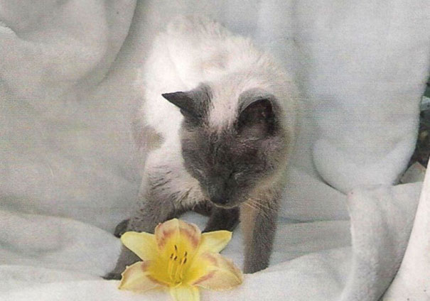 oldest-living-cat-30-siamese-scooter-6