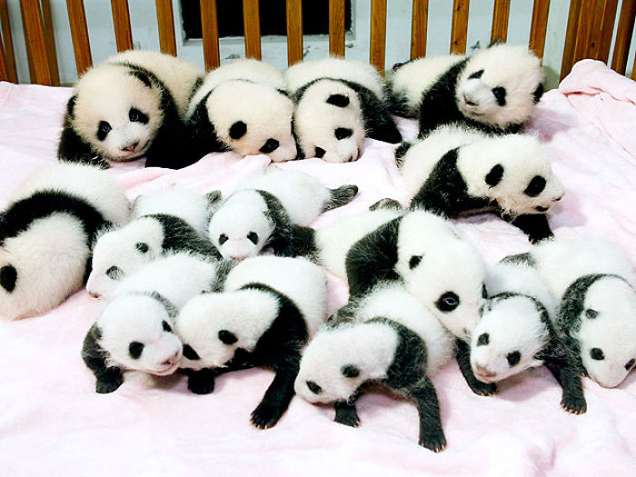 Lovely Cute Panda Babies