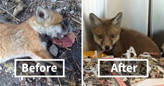 """""""Dead"""" Baby Fox Is Brought Back To Life By A Loving Man"""