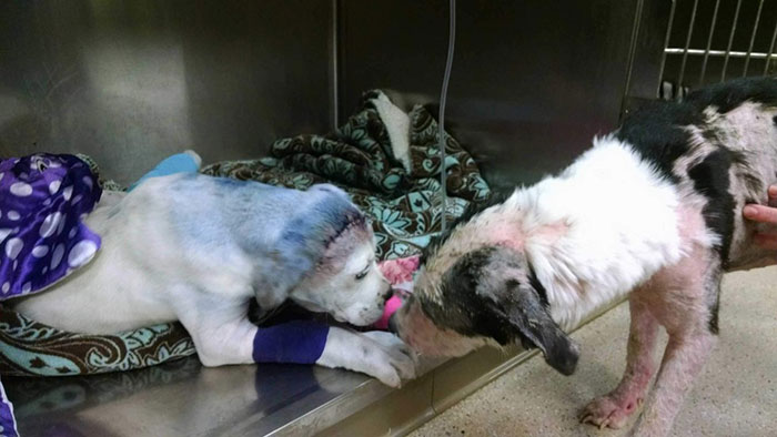 rescue-dog-comforts-pup-surgery-sammie-simon-1