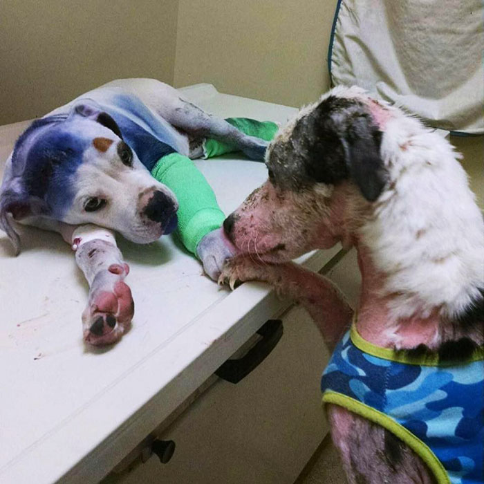 rescue-dog-comforts-pup-surgery-sammie-simon-6