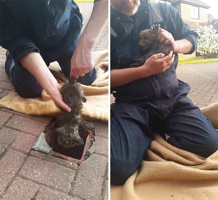 rescue-fox-cub-mom-pipe-4