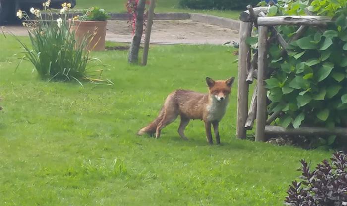 rescue-fox-cub-mom-pipe-8