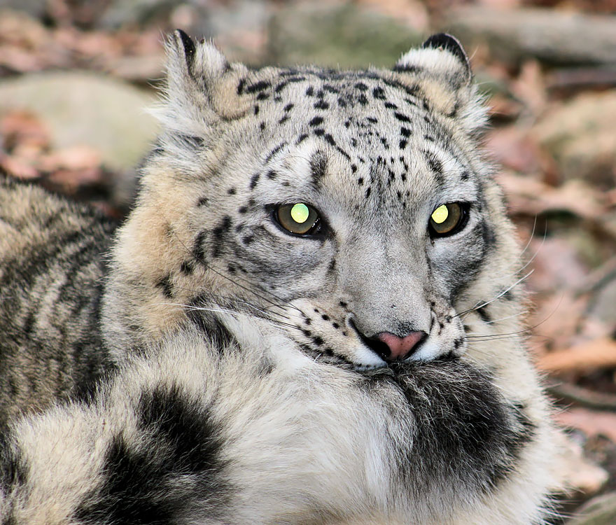 Snow Leopards Love Nomming On Their Fluffy Tails 12 Pics