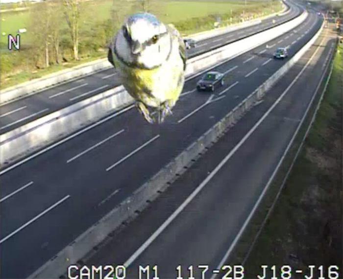 Traffic Camera Captures Speeding Blue Tit on UK Motorway