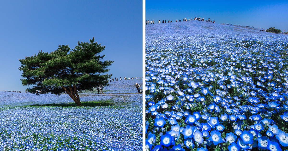 4.5 Million Baby Blue Eyes Just Bloomed In Japan's Hitachi Seaside Park And I Shot Them
