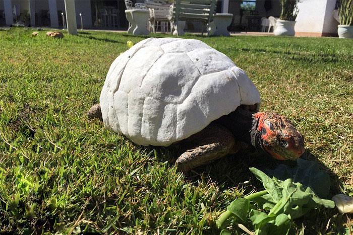 tortoise-3d-printed-shell-freddy-2