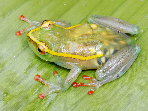 See-through Frog (Hyperolius Leucotaenius)