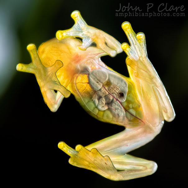 La Palma Glass Frog