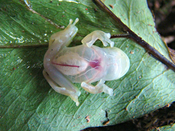Fully Transparent Rain Forest Frog