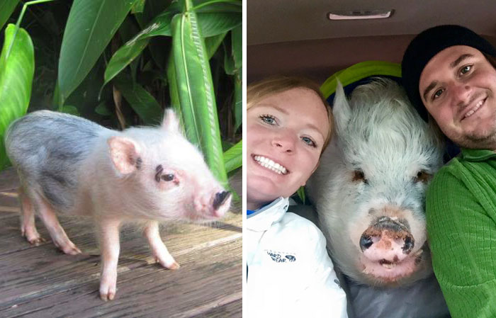 This Family Thought They Bought A Mini-Pig, But It Grew Up Into 250 Lb Travel Buddy