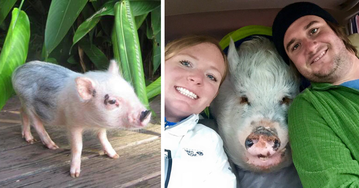 this family thought they bought a mini pig but it grew up into 250