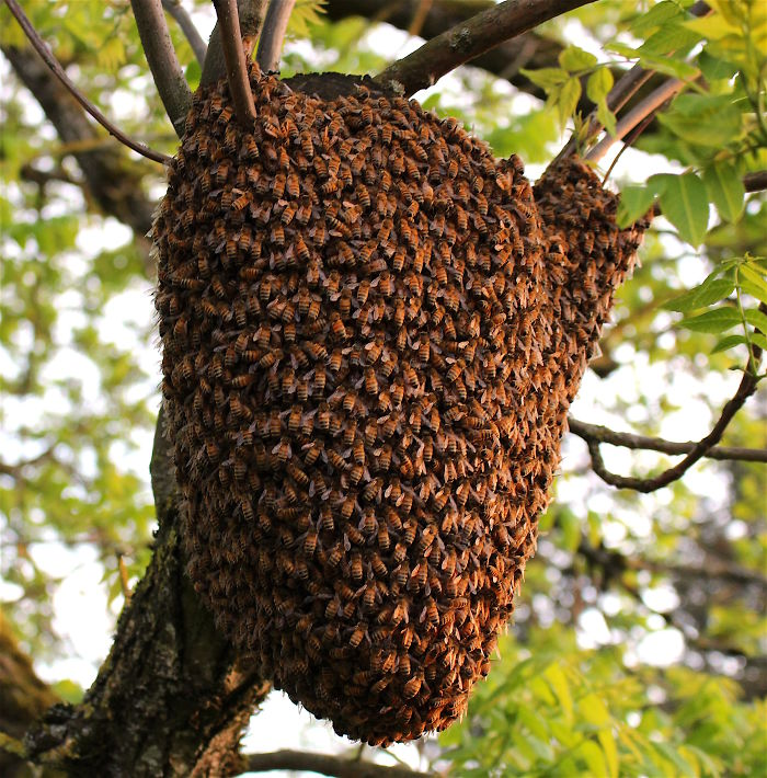 When A Bee Swarm Arrived In Our Front Yard