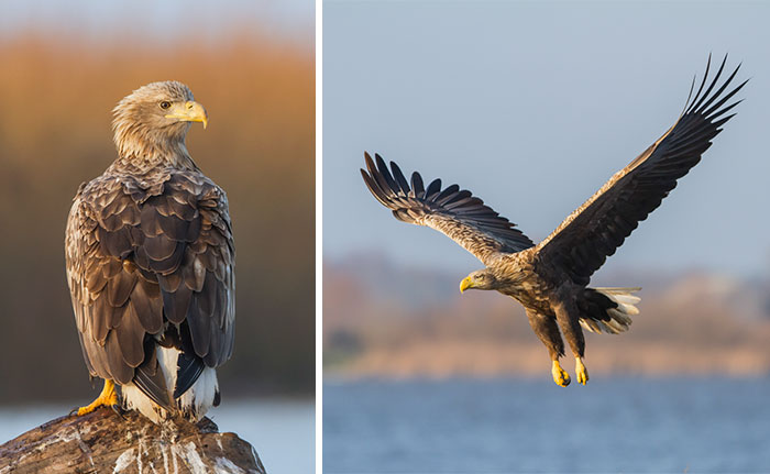 I Spent 5 Months Photographing White-Tailed Eagles In Kintai, Lithuania