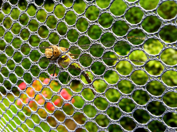 Dragonfly Stuck In A Trampoline Net