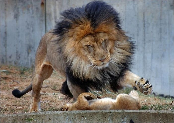 Little Lion And His Father 5 Photos