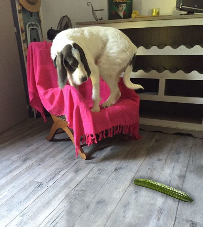 This Dog Is Clearly Afraid Of This Very Scary Cucumber