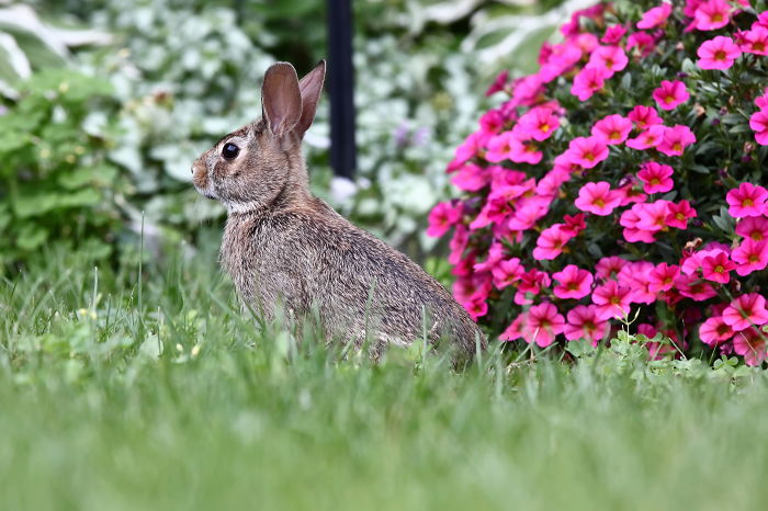 I Photographed A Bunny In My Backyard