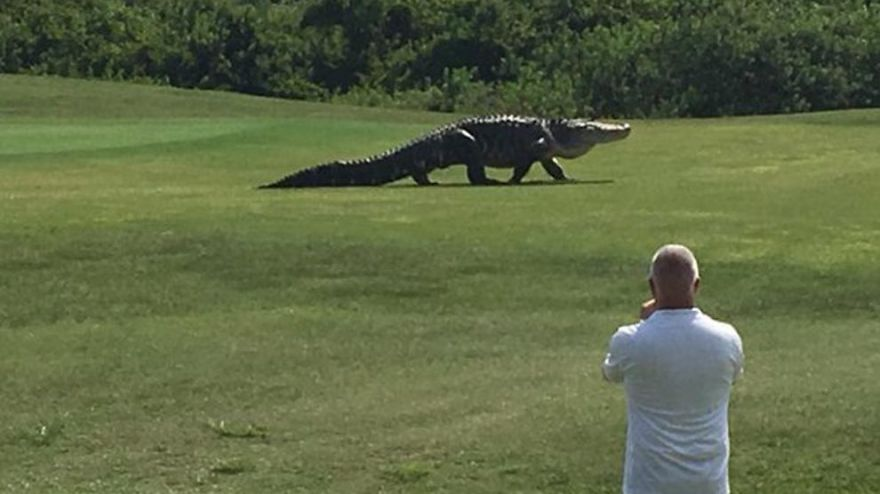 Giant Alligator Was Spotted Casually Roaming A Golf Course In Florida