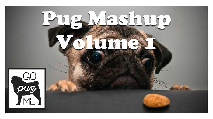 Pug Mashup, The Reason We Love Pugs!