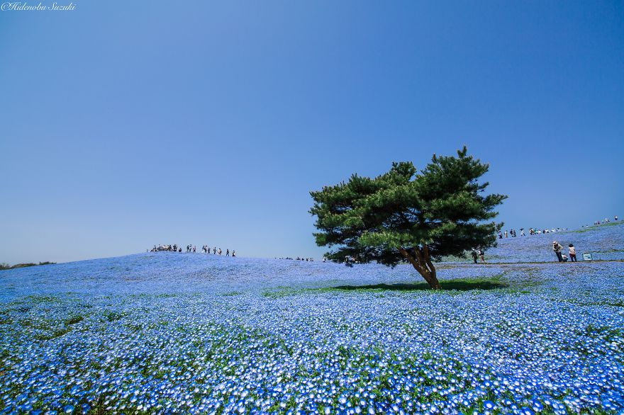 4.5 Million Baby Blue Eyes In Japan's Hitachi Seaside Park