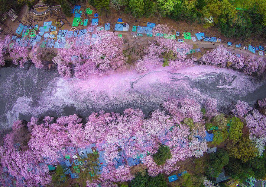 Cherry Blossoms Paint A Lake Purple In Tokyo