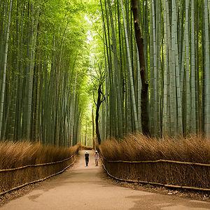 Sagano Bamboo Forest, In Arashiyama