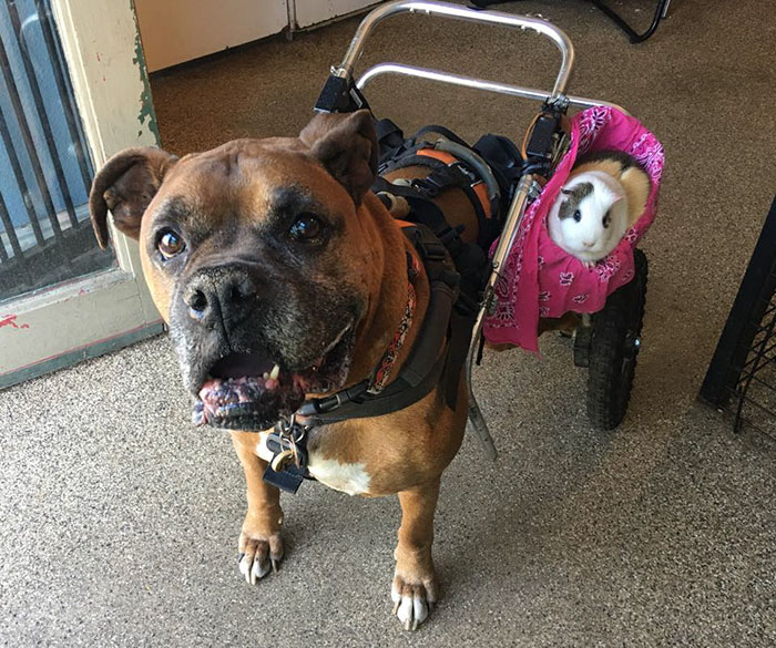 dog-guinea-pig-friends-boxer-rex-smores-29