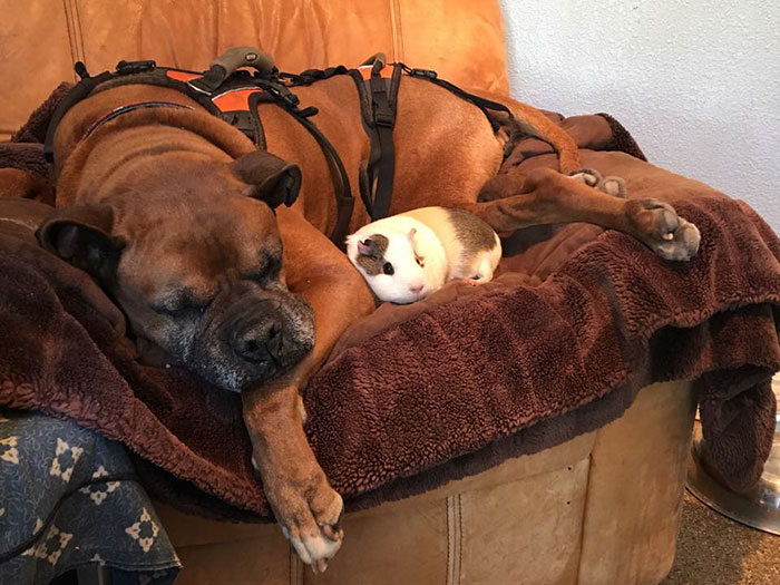 dog-guinea-pig-friends-boxer-rex-smores-30