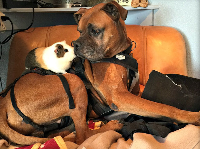 dog-guinea-pig-friends-boxer-rex-smores-7