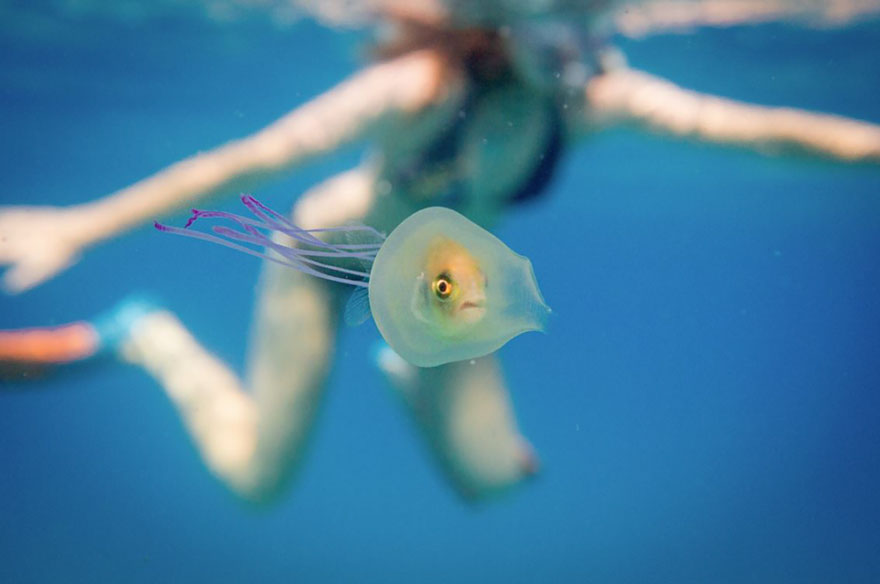 fish-trapped-inside-jellyfish-3