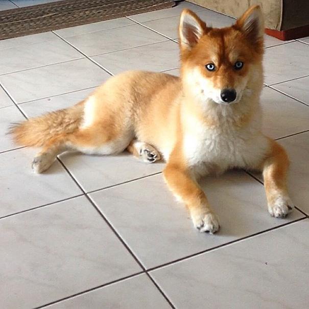 fox-dog-pomeranian-husky-mya-the-pomsky-3