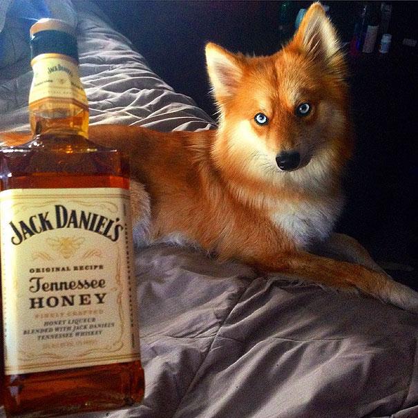 fox-dog-pomeranian-husky-mya-the-pomsky-38