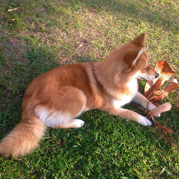 Meet Fox Dog, A Pomeranian-Husky Mix Who Is Taking The ...
