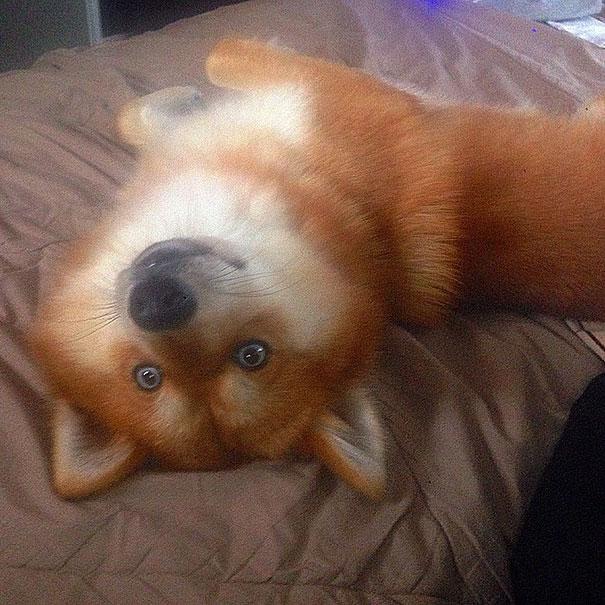 fox-dog-pomeranian-husky-mya-the-pomsky-6