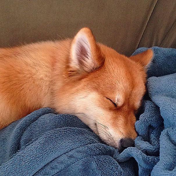 fox-dog-pomeranian-husky-mya-the-pomsky-9