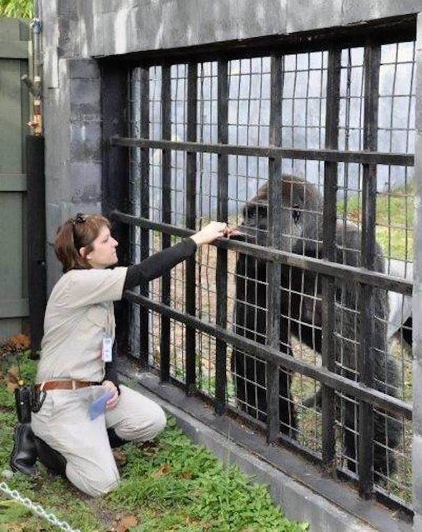 gorilla-shot-boy-zookeper-explains-harambe-amanda-odonoughue-cincinnati-zoo-3