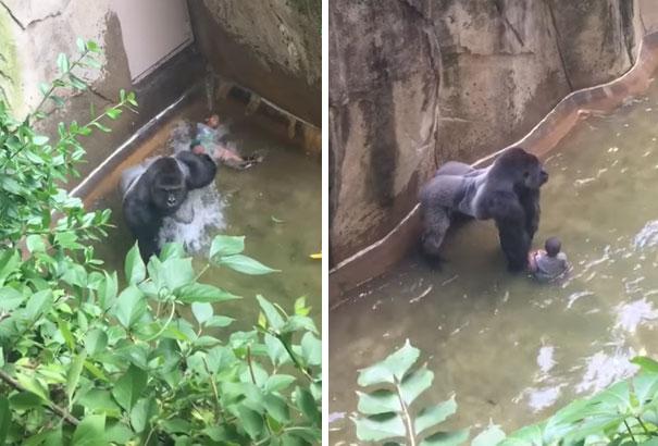 gorilla-shot-boy-zookeper-explains-harambe-amanda-odonoughue-cincinnati-zoo-4
