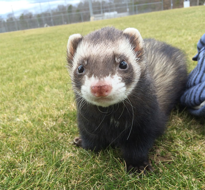 Many Faces Of Adorable Ferret Hyperion