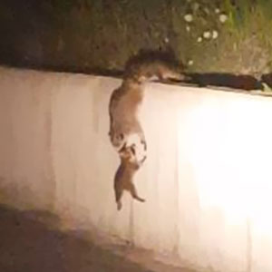 Raccoon Family Forms A Chain To Help A Baby Raccoon Get Over The Wall