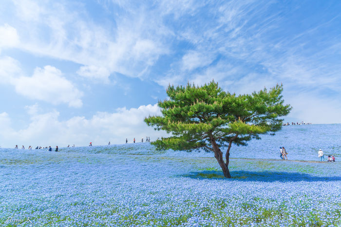 Every Year Since 2013 I Photograph Hitachi Seaside Park In Japan