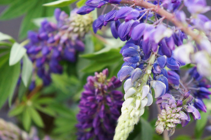 Perfect Lupines