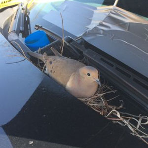 Bird Builds Her Nest On Police Car, The Cops Respond In The Sweetest Way