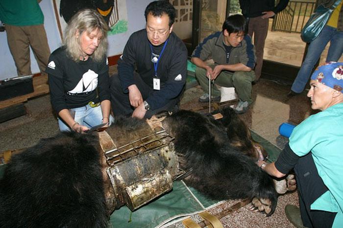 rescue-bear-torture-vest-caesar-bile-farm-china-1
