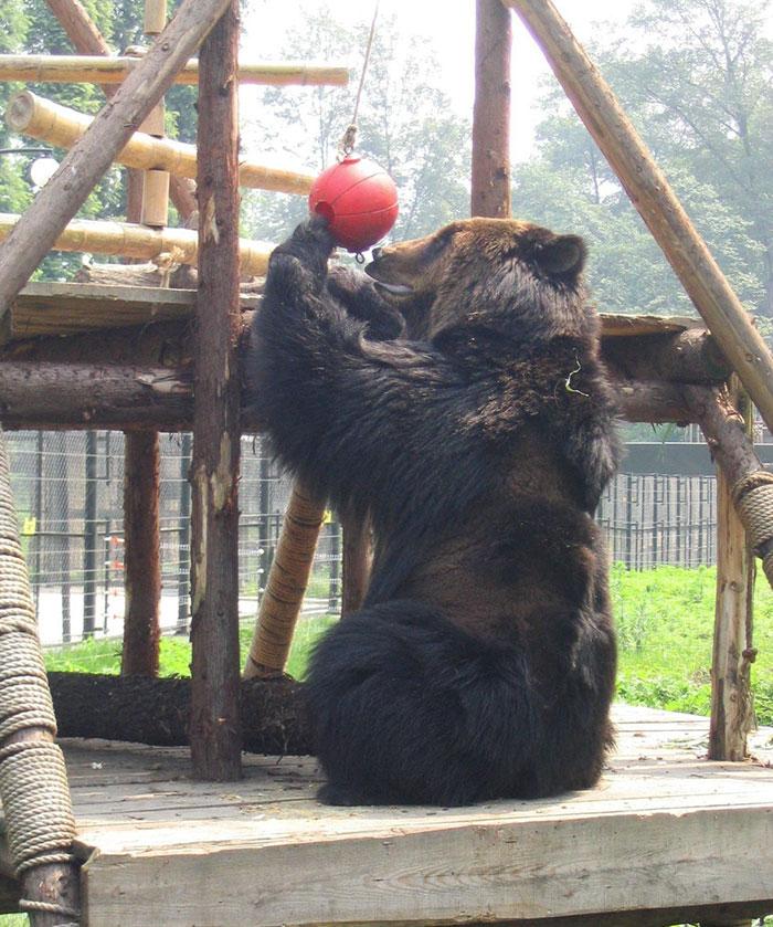rescue-bear-torture-vest-caesar-bile-farm-china-10