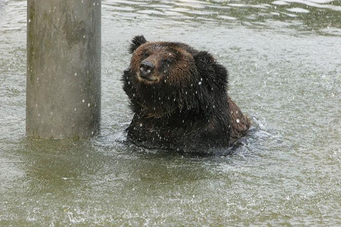 rescue-bear-torture-vest-caesar-bile-farm-china-11