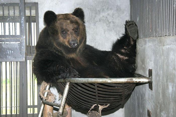 rescue-bear-torture-vest-caesar-bile-farm-china-12
