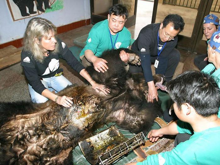 rescue-bear-torture-vest-caesar-bile-farm-china-14
