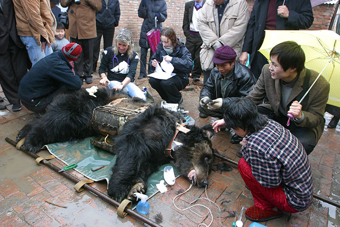 rescue-bear-torture-vest-caesar-bile-farm-china-3