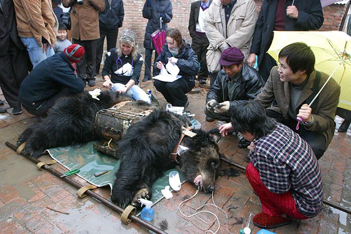 rescue-bear-torture-vest-caesar-bile-farm-china-3
